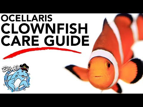 How To Care For Clownfish | BigAlsPets.com