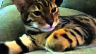 Тигровый кот   Tiger cat bengal