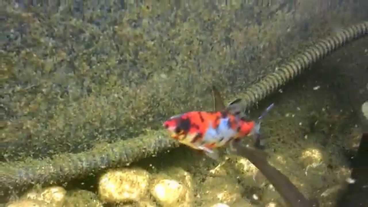 Poisson Rouge Bassin Extérieur mon bassin 1000 litres 04/06/2014 - youtube