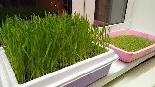 Вырастить траву дома зимой.Трава для кота)
