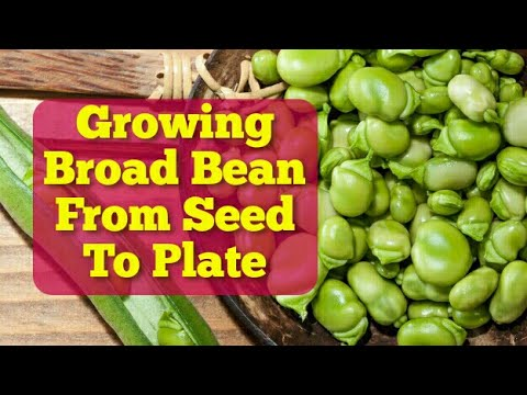 Complete Guide: How To Grow Broad Bean | From Seed To Plate | The Movie