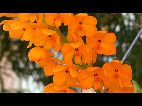 Ascocentrum miniatum уход. Орхидеи в доме.