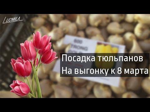 ПОСАДКА ТЮЛЬПАНОВ НА ВЫГОНКУ К 8 МАРТА