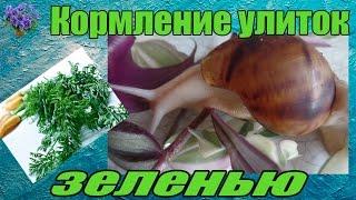 Кормление  гигантских африканских улитка ахатин ( Achatina ) зеленью