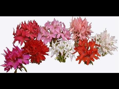Звездчатые пеларгонии. Stellar Zonal pelargoniums.
