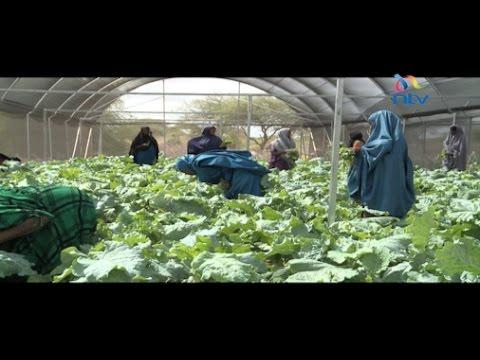 Desert farming in Wajir changing livelihoods