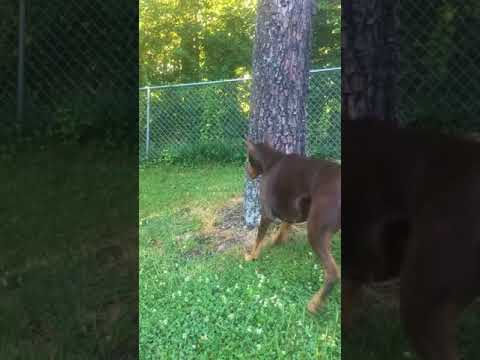 Squirrel Playing With Death - Dog Vs Squirrel - Doberman Pinscher
