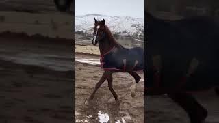 At böyle şahlanır kehribar