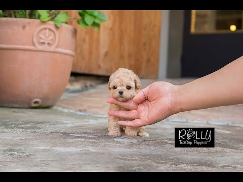 Cream Coat Loving Personality Poodle 'Belle' - Rolly Teacup Puppies