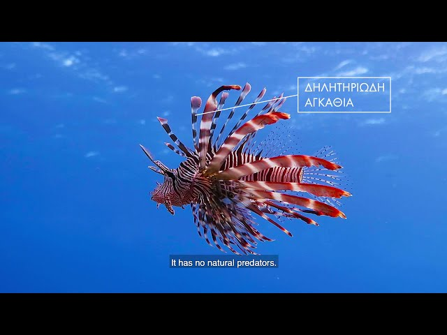 RELIONMED-Life: Lionfish – the undersea invader!