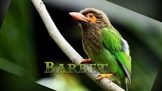 Brown Headed Barbet Bird