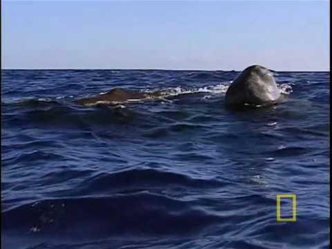 Sperm Whale Search for Giant Squid - Azores