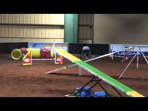 Miss Maggie Moo the beagle Semi-Finals Grand Prix 2015 USDAA Nationals (Tennessee)