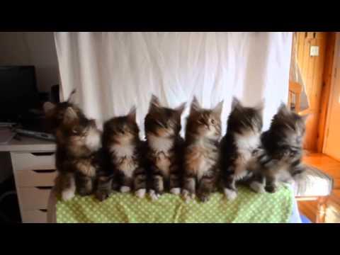 Maine Coon Kittens cute dancing