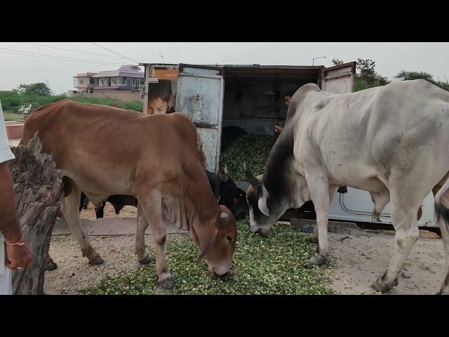 Vraja Dham Seva | Gau Seva at Govardhan(21.06.2021)