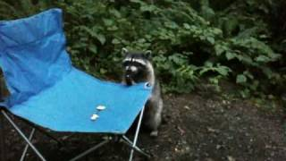 raccoon eats animal crackers