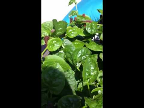 My Pot Garden Sri Lankan Spinach Youtube