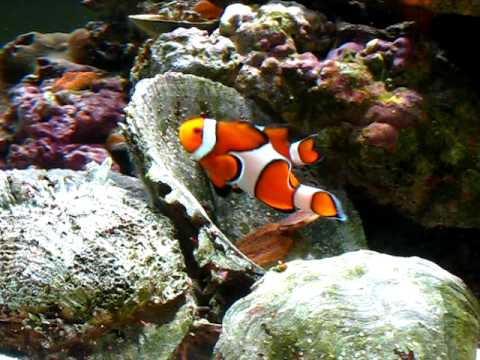 Pre-Spawning Clownfish Behavior