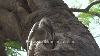 Grey Hornbill nesting in urban landscape || Male feeds female after regurgitating