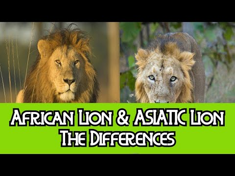 African Lion & Asiatic Lion - The Differences