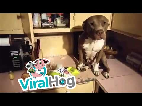 Dog Gets Caught On Counter