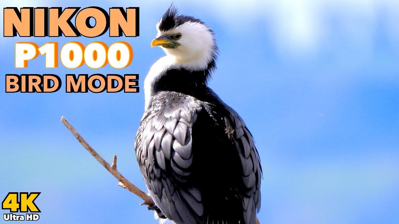 Nikon P1000 4K - Bird Mode Demo