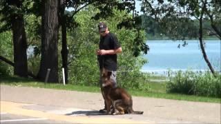 Monty (german Shepherd) Trained Dog Demonstration