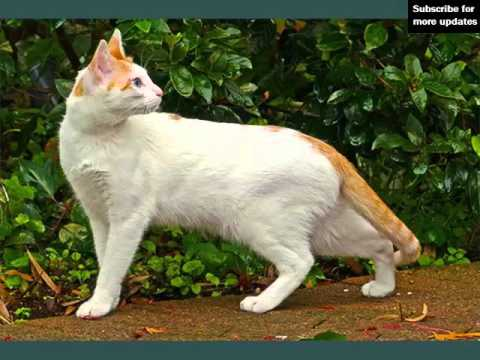 Arabian Mau | Set Of Cat Breed Pictures