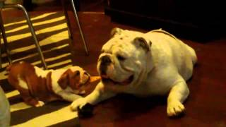 Bulldog Lovers Cutest English Bulldog Vid Ever Bully Puppy Trying To Walk Her Huge Daddy