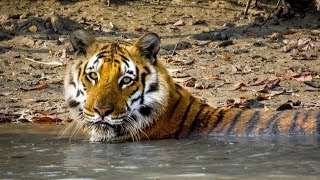 BBC Big Cats - Behind the scenes of Swamp tiger in Sunderbans