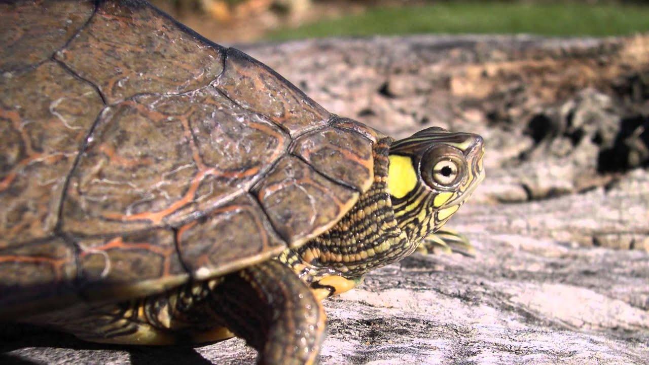 Southern Ouachita Map Turtle Graptemys ouachitensis