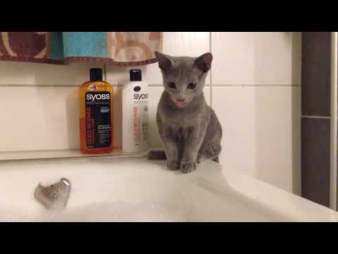 Russian Blue Cat Kitten at bathtub