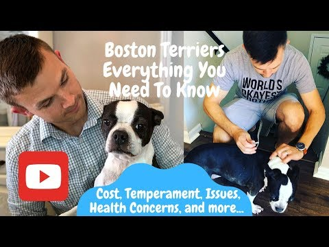 Thinking About Getting A Boston Terrier?