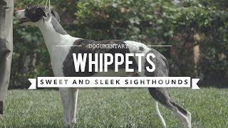 ALL ABOUT WHIPPETS: SWEET AND SLEEK SIGHTHOUND