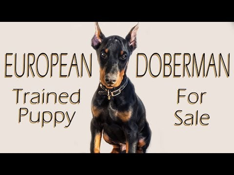 European Doberman Trained Puppy For Sale - Protection and Working Prospect 2017