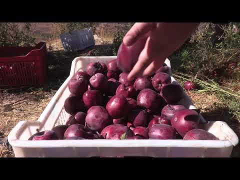 Baskinta Fights the Local Apple Crisis... Rescue Lebanese Apples, #SaveLebaneseApples