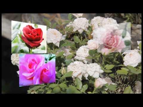 Làng hoa kiểng Sa Đéc (Đồng Tháp)