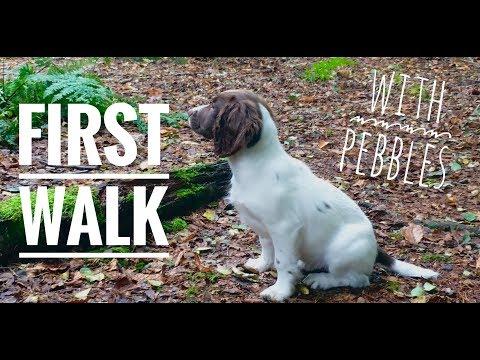 Our Springer Spaniel Puppy's First Walk