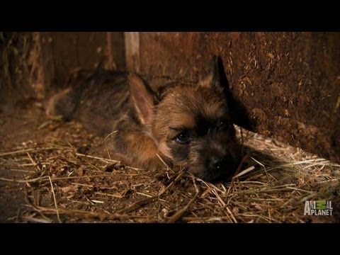 Cairn Terriers | Too Cute!