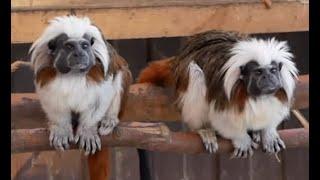 Обезьяны и обезьянки, дикие кошки, попугаи и фазаны, чумовые овцы - хозяйство, достойное зависти.