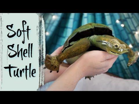 SoftShell Turtle || ArtDoll Tutorials
