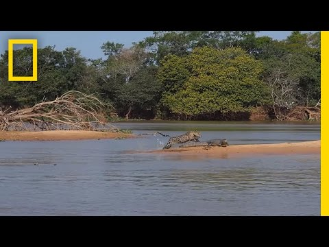 Jaguar Attacks Crocodile Cousin (EXCLUSIVE VIDEO) | National Geographic