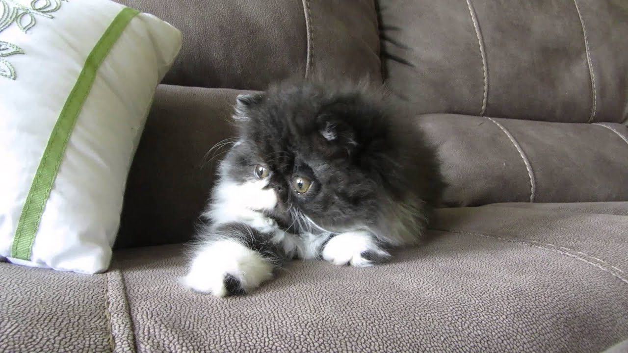 Black and white persian kitten available for Christmas