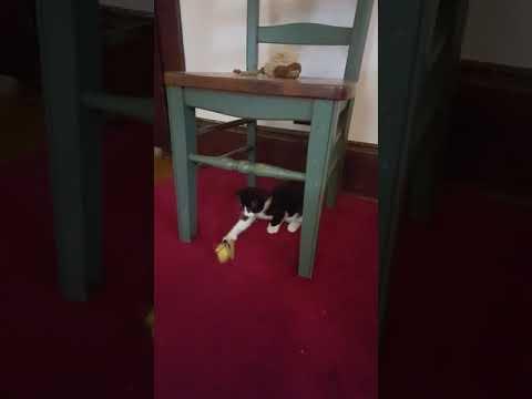 manx tuxedo 6 toe kitten play