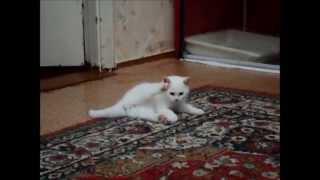 """ПРОДАЖА! Белые, лиловые, голубые британские котята питомника """"Шантерель"""""""