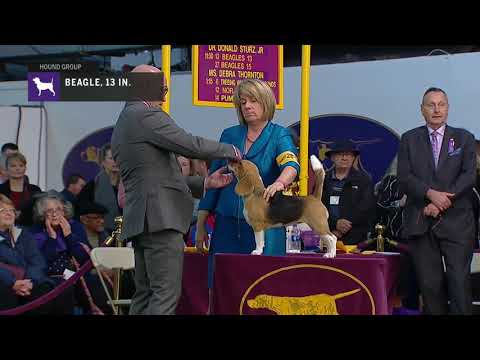 Beagles, Not Exceeding 13 In. | Breed Judging 2019
