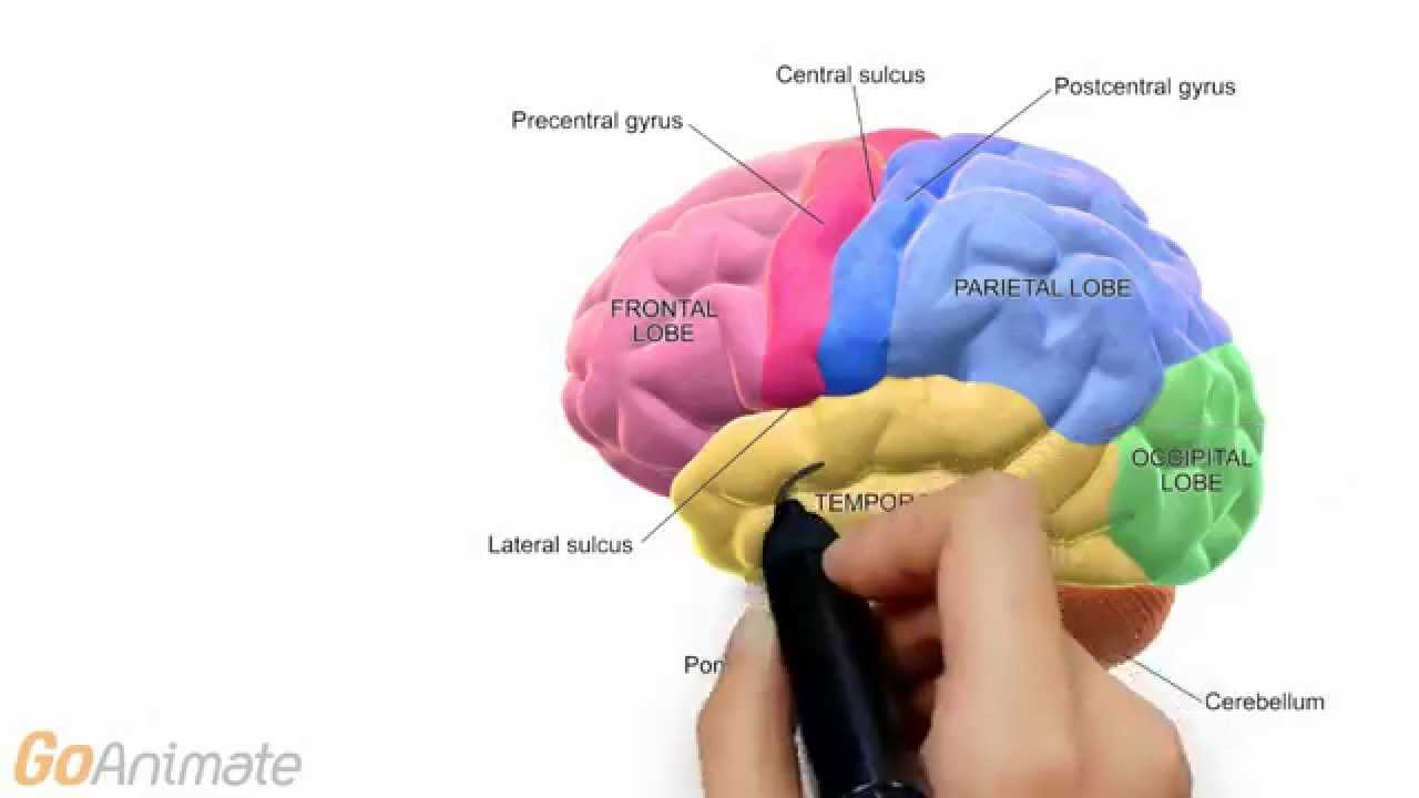 Anatomy And Physiology Central Nervous System Brain Anatomy V20