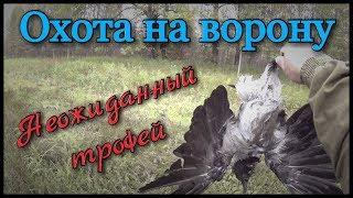 Охота на ворону. Охотился на утку со своей собакой и тут налетела она, серая ворона.