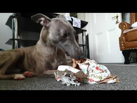 Whippet opens early Christmas present!