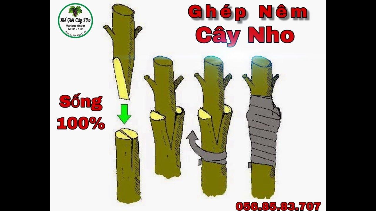 Thế Giới Cây Nho   Hướng dẫn ghép nho ăn quả vào gốc ghép nho dại Phần 2 (Chi tiết)